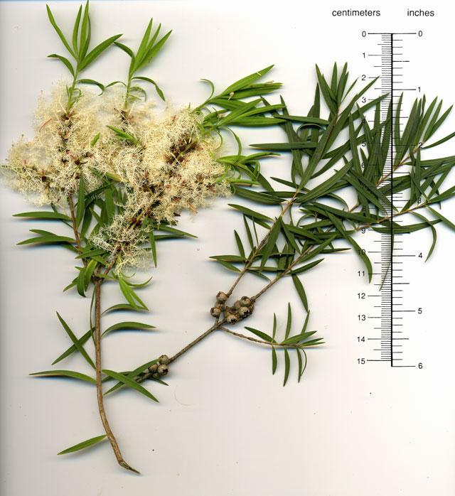 Melaleuca linariifolia. FLAXLEAF PAPERBARK.