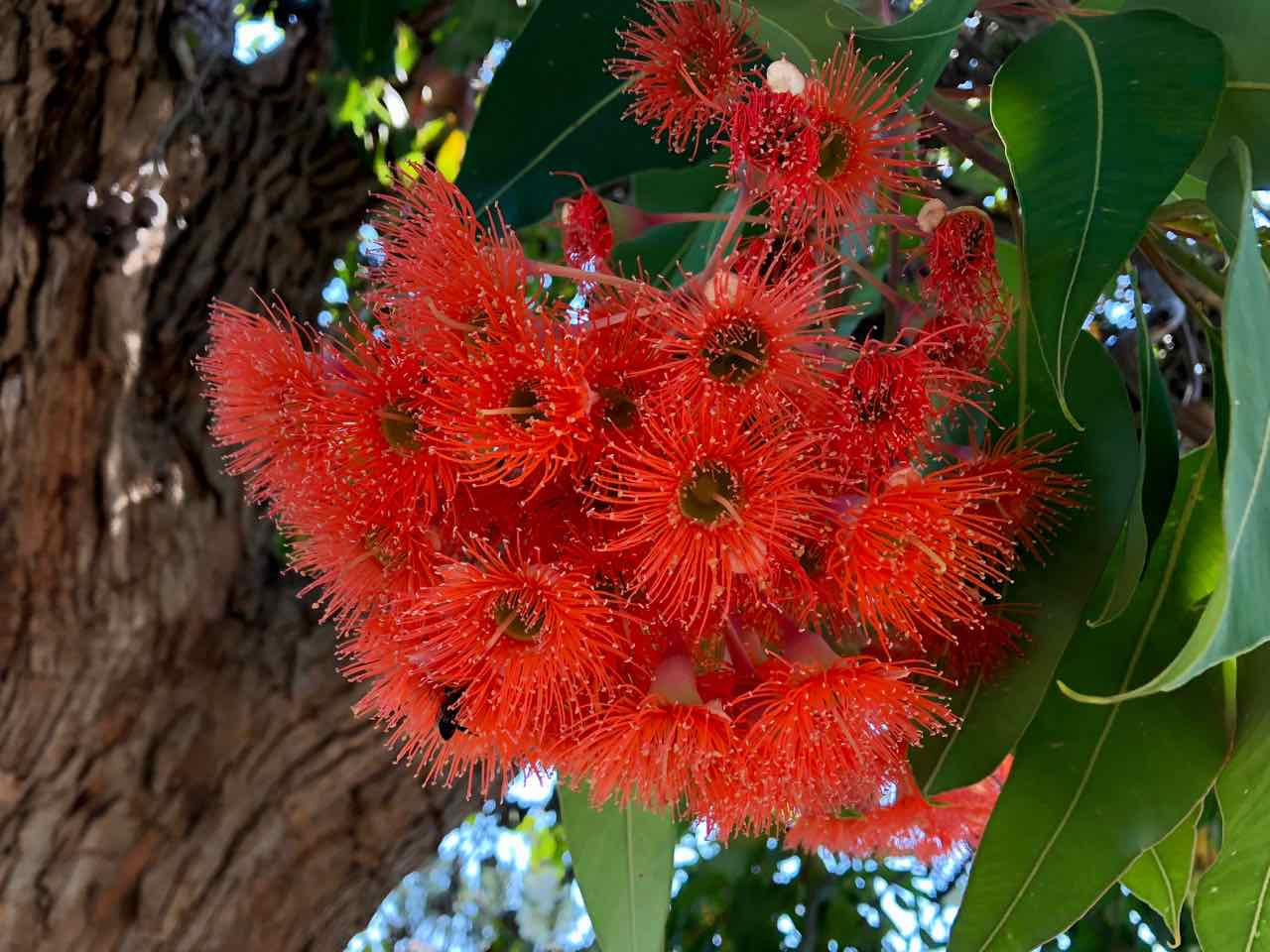 red-flowering gum