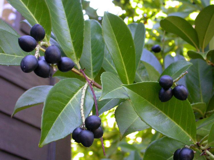 prunus laurocerasus english laurel trees of stanford. Black Bedroom Furniture Sets. Home Design Ideas