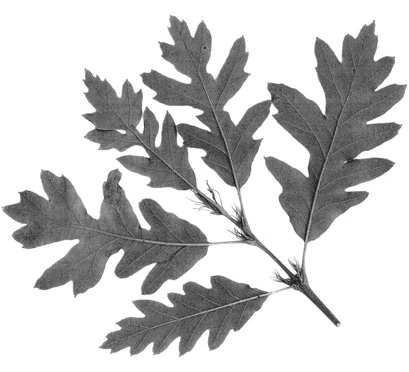 Turkey oak leaf