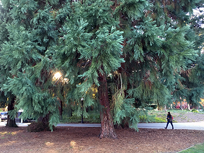 Giant sequoia, Canfield Court