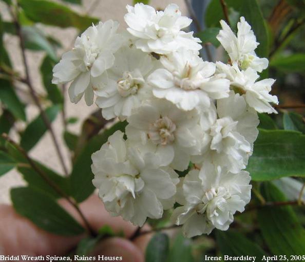 Spiraea Prunifolia, Bridal Wreath Spiraea · S. Nipponica