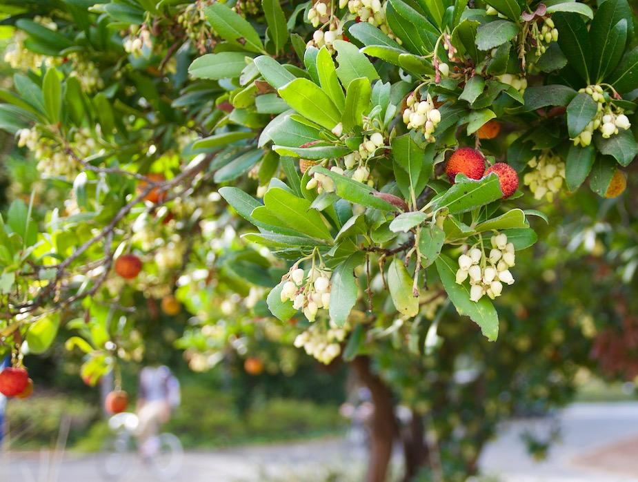 Arbutus unedo, strawberry tree · A. 'Marina', Marina ...  Strawberry