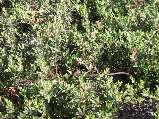 Arctostaphylos spp trees of stanford environs - Cotoneaster dammeri green carpet ...