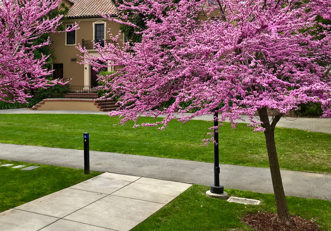 Cercis Canadensis Eastern Redbud Trees Of Stanford Environs