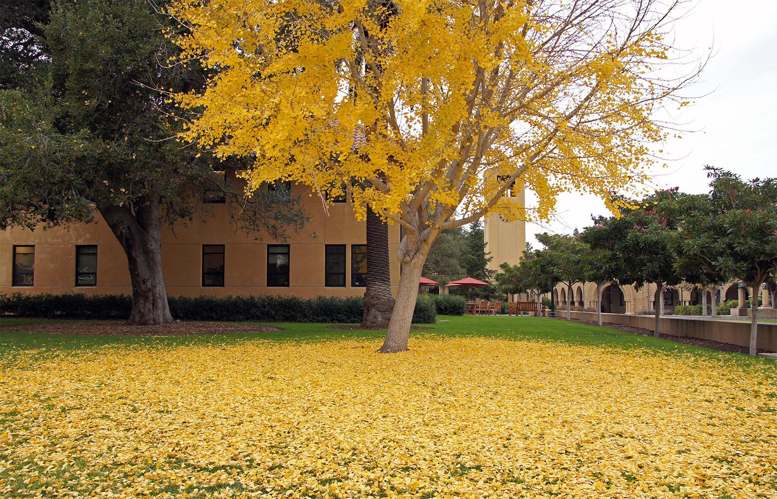 Ginkgo Biloba Trees Of Stanford Environs