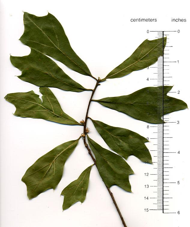 Quercus nigra water oak trees of stanford environs
