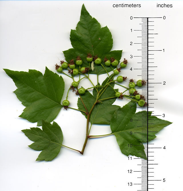 Image result for crataegus phaenopyrum